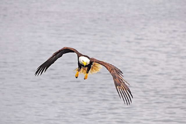 Eagle flying along surface of water