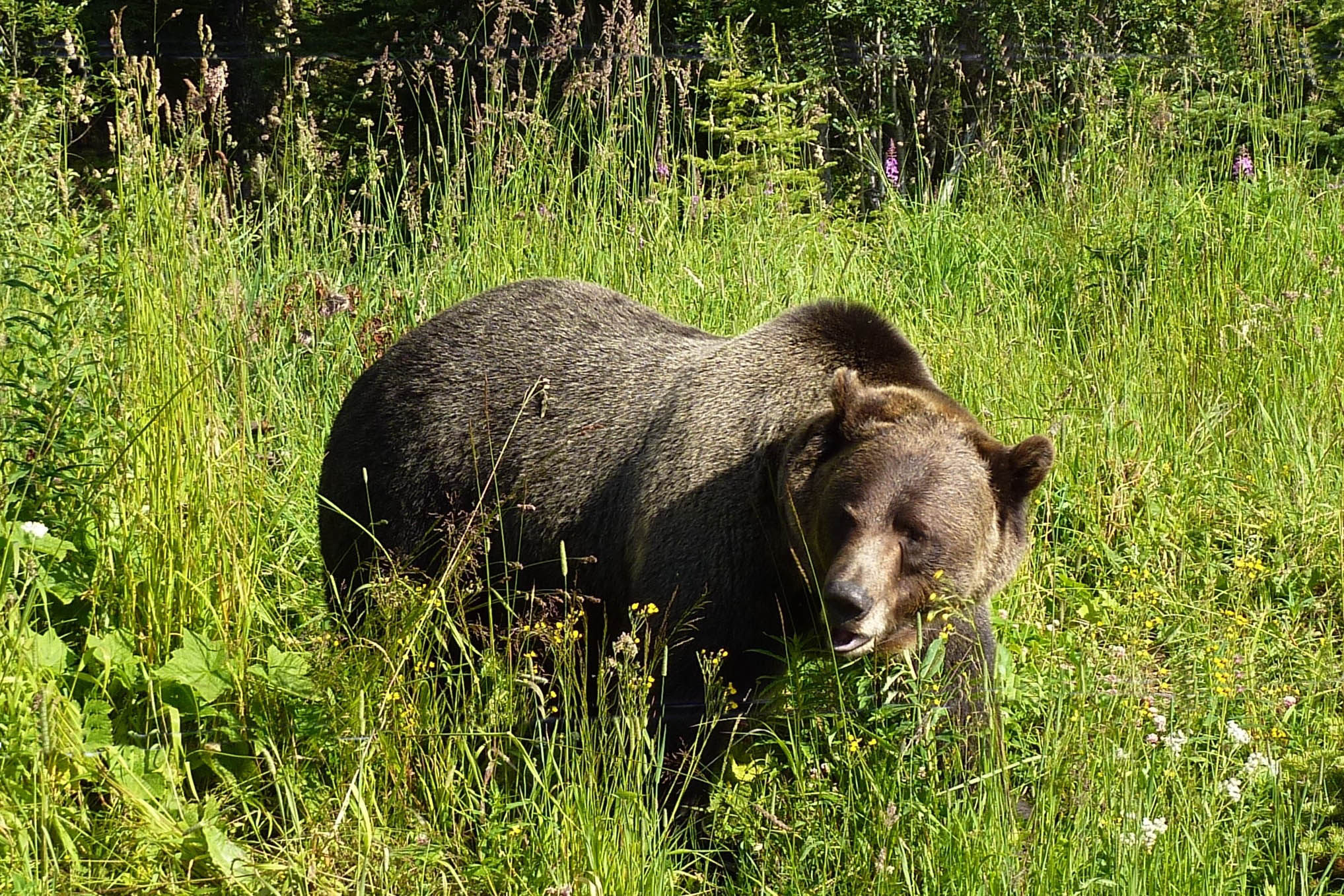 Grizzly bear in grass eating a piece of grass