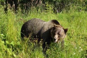 grizzly-1180556