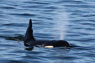 Small image of orca whale
